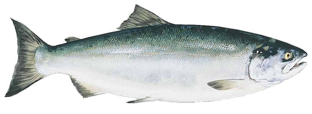 Ak fish info for Alaskan salmon fishing